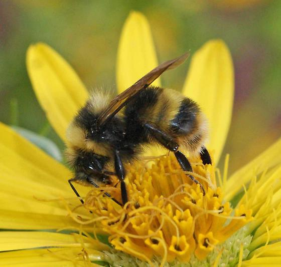 The western bumblebee,  Bombus occidentalis , whose populations are currently in decline. Photo by Diane Wilson.