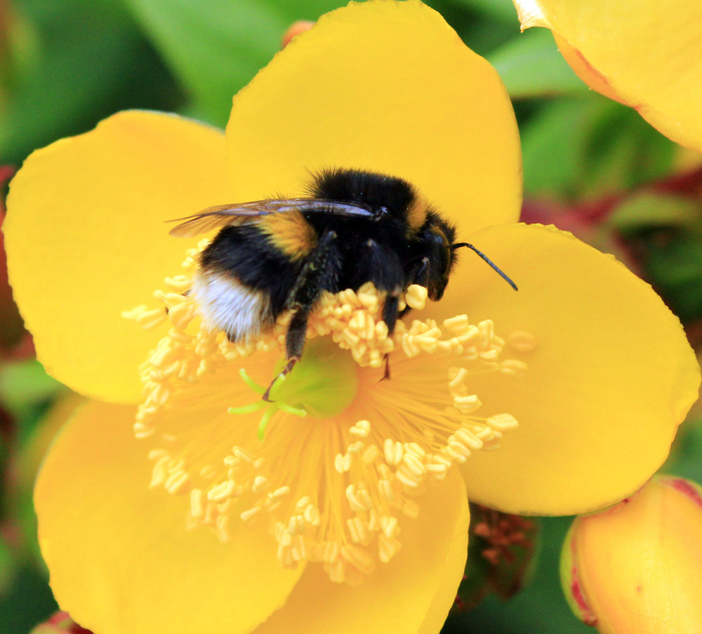 A buff-tailed bumblebee,  Bombus terrestris . Photo by  Kathleen Purser.