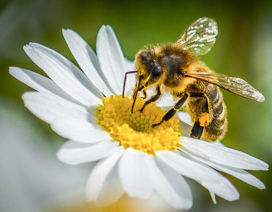 A honeybee on an open-shaped flower. Photo by George Gray.