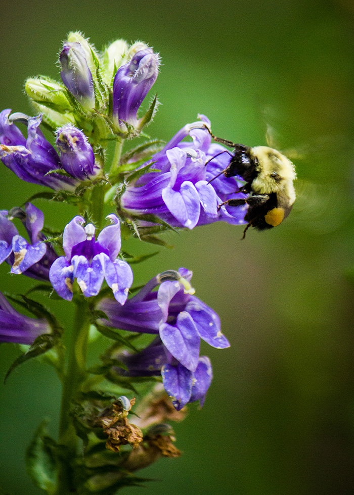 A bumblebee on a tube-shaped flower, photo by Brendan Zwelling.