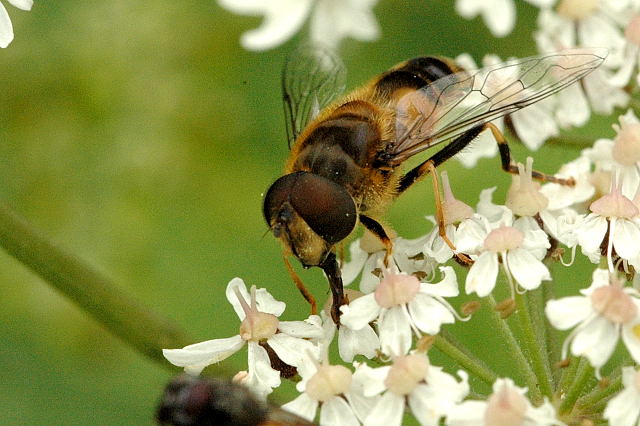 The hoverfly (or syrphid fly)  Eristalis interrupta  (or  nemorum ), photo by James Lindsey in Belgium.