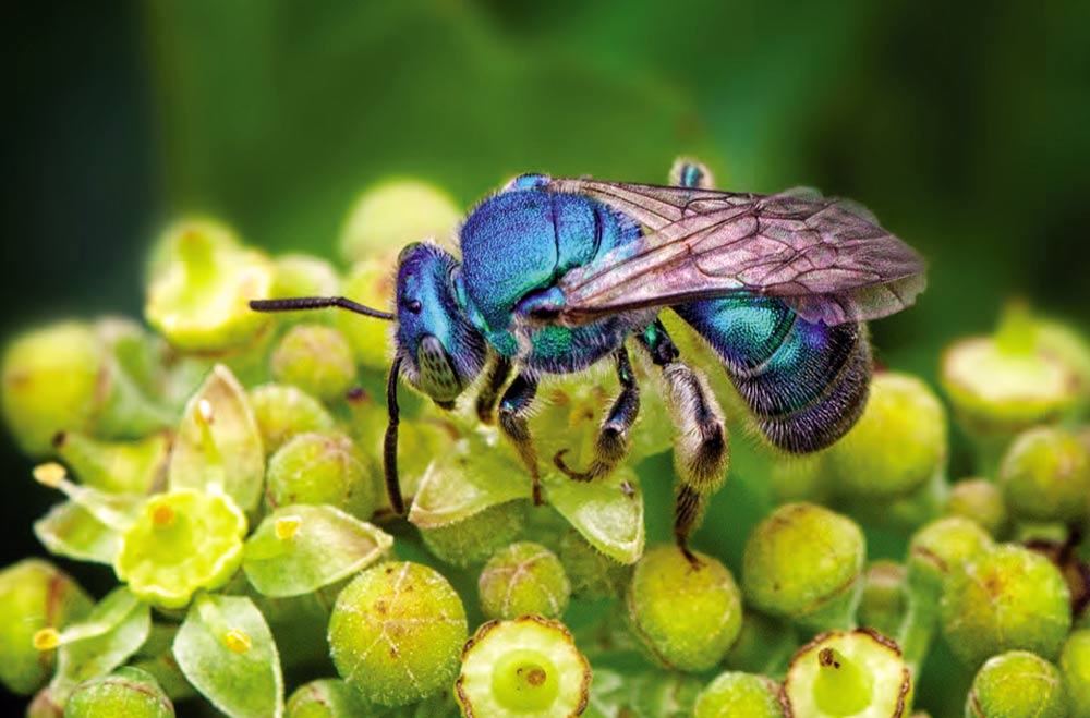 One of our native mason bee species,  Osmia lignaria , the blue orchard bee. Photo by  Brian Buckner
