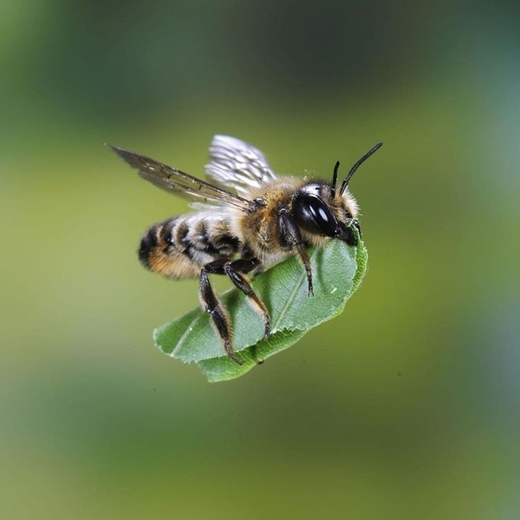 Leafcutter bee. Photo by Kim Taylor
