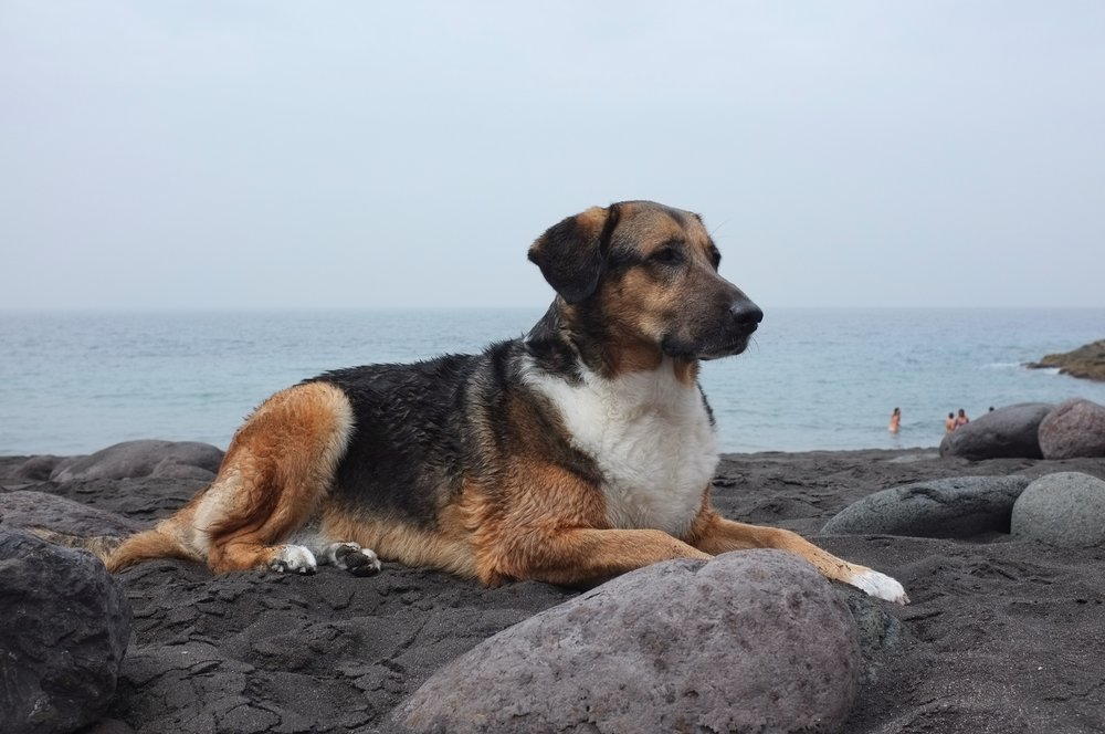 Dog relaxing on the beach at Playa Guayedra, Gran Canaria