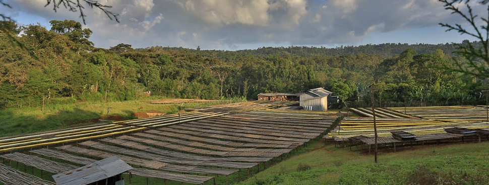 yirga cheffe, ethiopia. coffee forests for days.