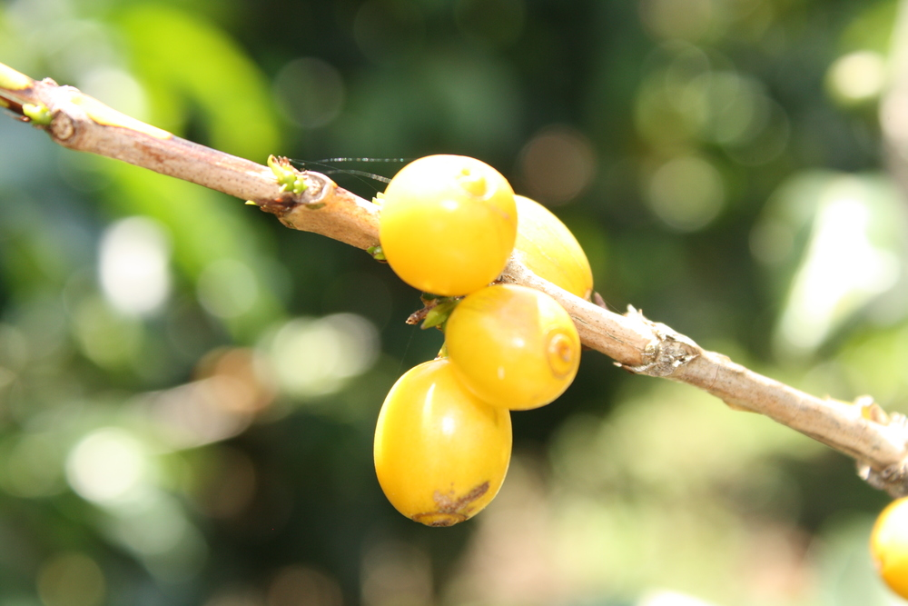 yellow bourbon, a variety of the arabica, known for its bright, clear acidity. Inside each berry, two seeds.