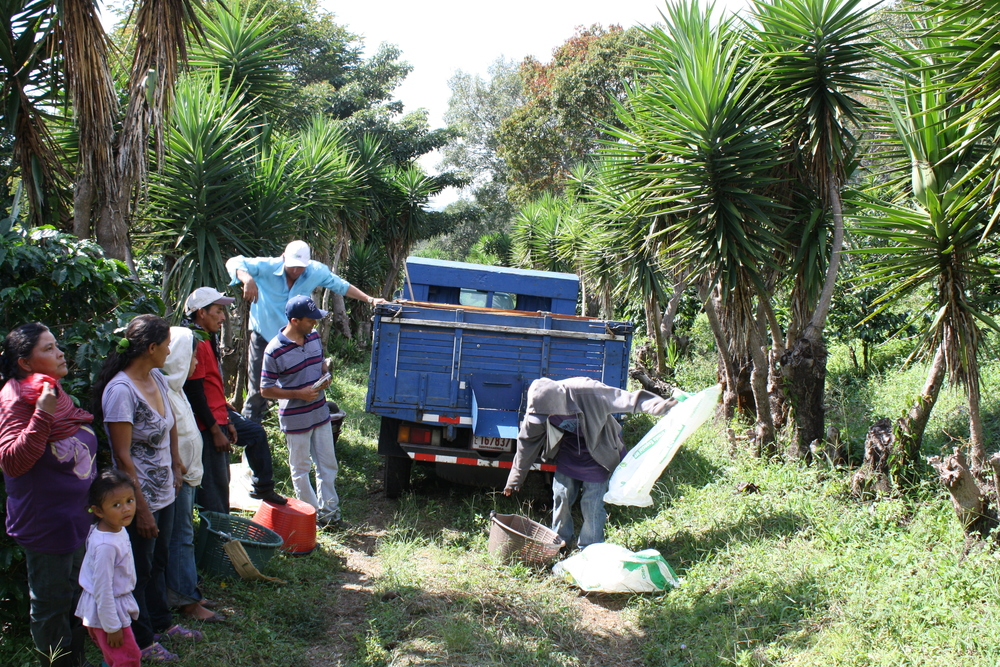 harvest time in costa rica brings whole families from nicaragua to help pick the ripe berries.