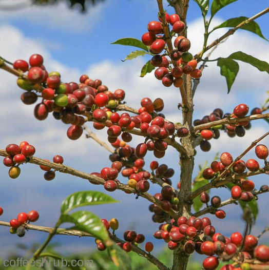 A coffee shrub in all its glory, Finca Santa Julia, El Salvador.