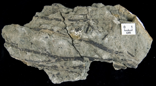 A beautiful example of a plant fossil. Photo courtesy of Dr. Patricia Gensel.