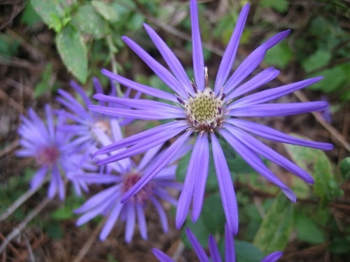 A specimen of Georgia aster ( Symphyotrichum georgianum ), a rare wildflower found in the southeastern United States, including the Piedmont region of the Carolinas. Photo credit: Biosthmors, Wikimedia Commons.