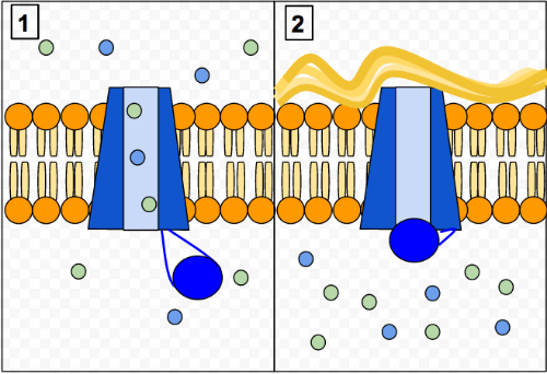 A schematic of the CFTR in a healthy person (1) and a person with CF (2). Photo credit: Lbudd14, Wikimedia Commons.