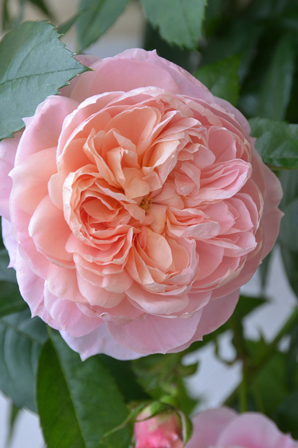 peach roses gallery abraham darby - Peach Garden Rose