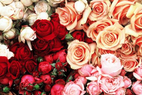 cut roses wholesale story farm