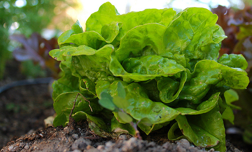 McGee Creek Garden Lettuce