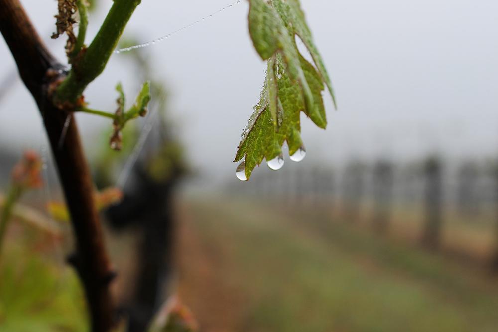 Cabernet_rain_healdsburg