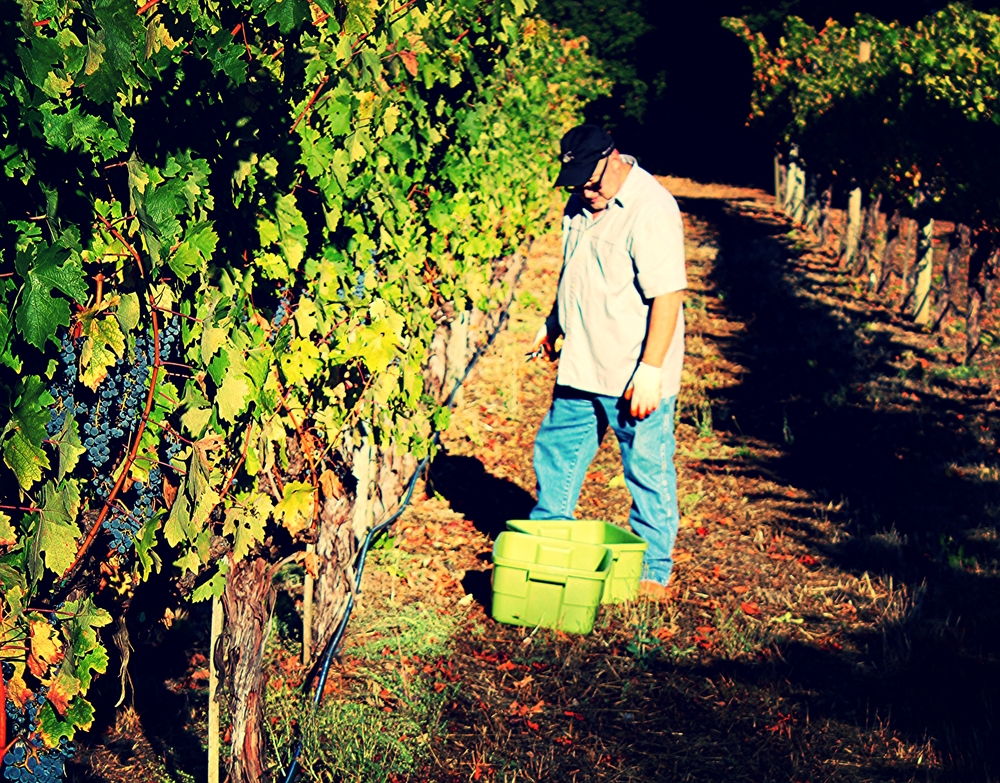 TL picking Cabernet