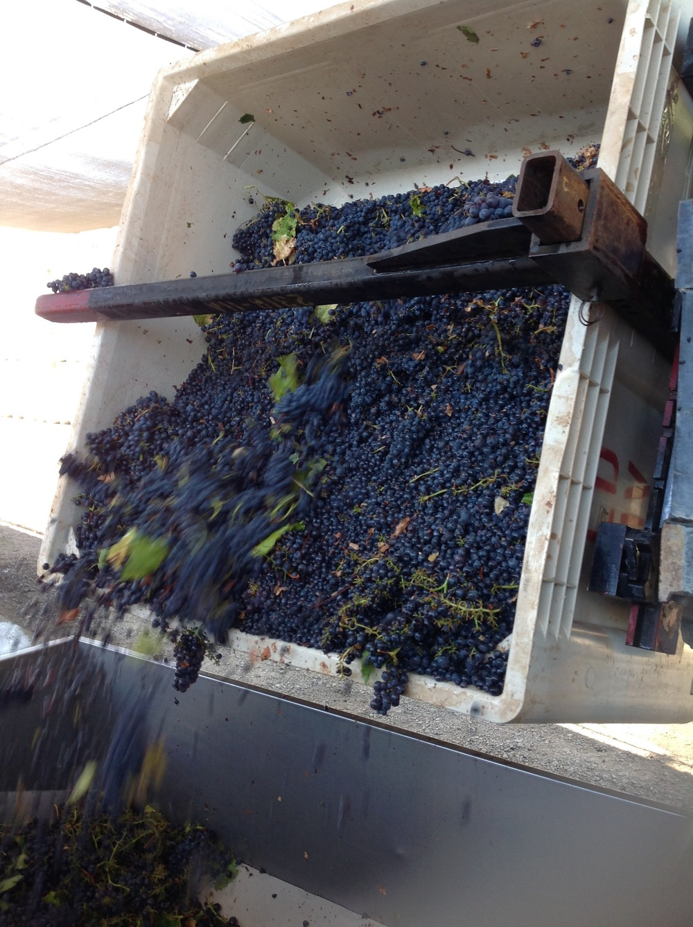 Dumping 1000 pounds of grapes