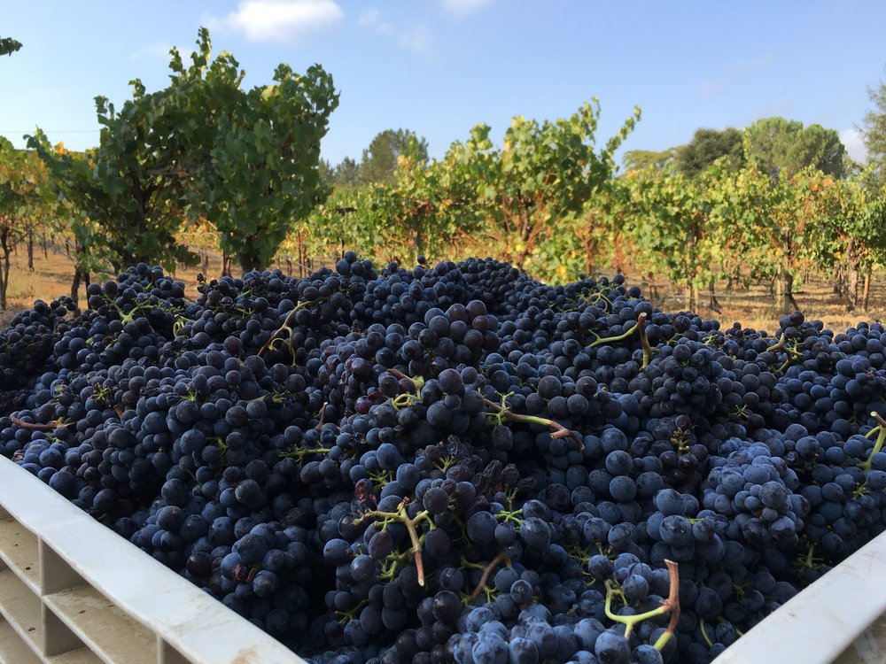 A full bin of Sangiovese