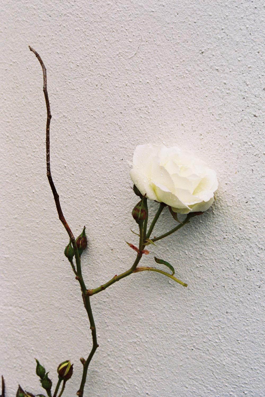 Film photograph: Peace Rose, Kilcranny House; Coleraine, Northern Ireland
