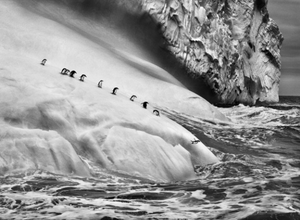 Chinstrap Penguins, South Sandwich Islands,  2009 by Sebastiao Salgado at Peter Fetterman Gallery