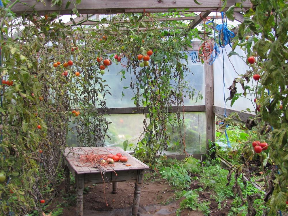 Farewell tomatoes!