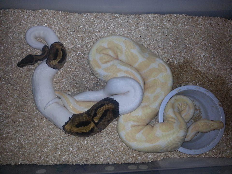Piebald x Albino