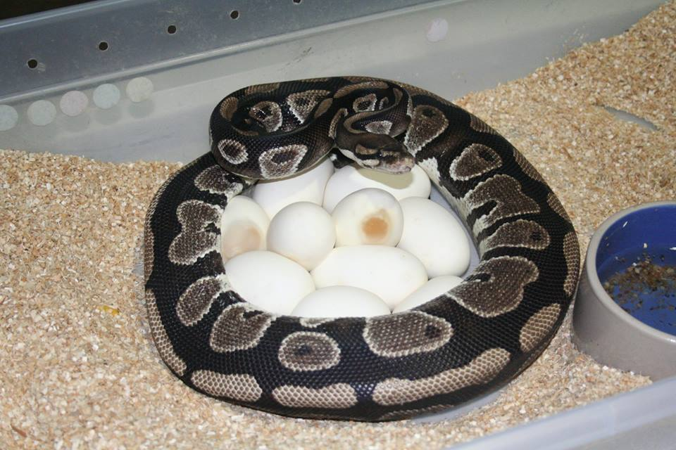 Notice the egg with the clear spot on it. This egg went full term and hatched a healthy baby.