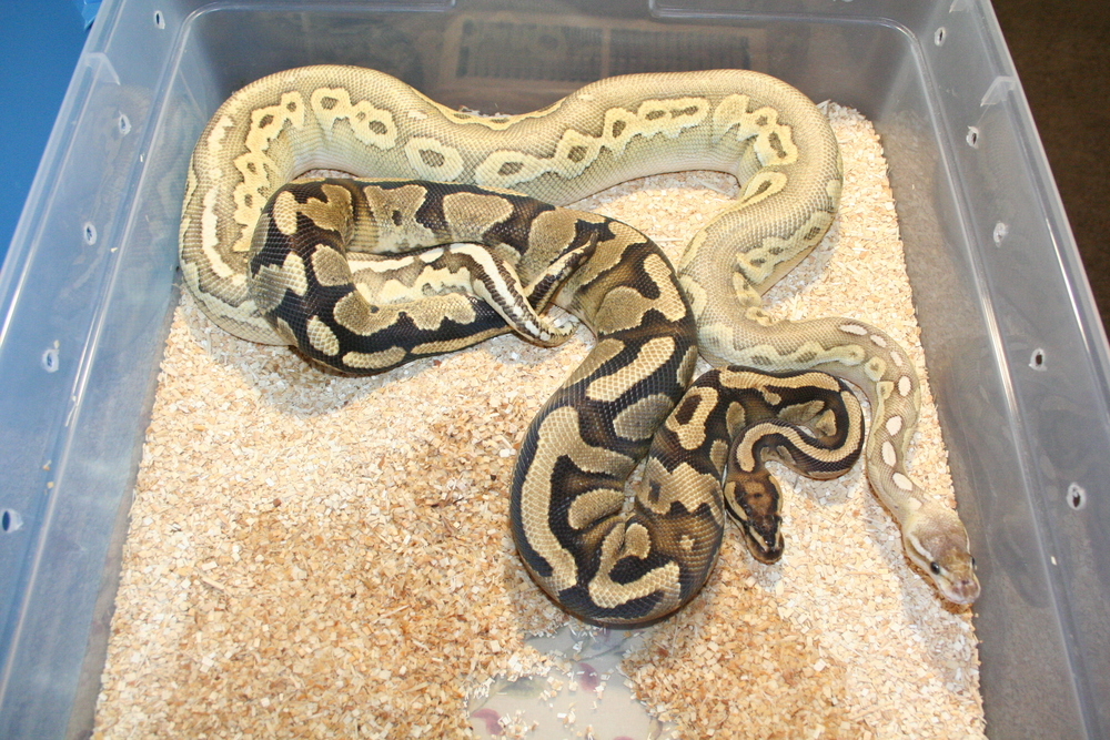 Fire Yellow-belly X Blonde Pewter Lesser