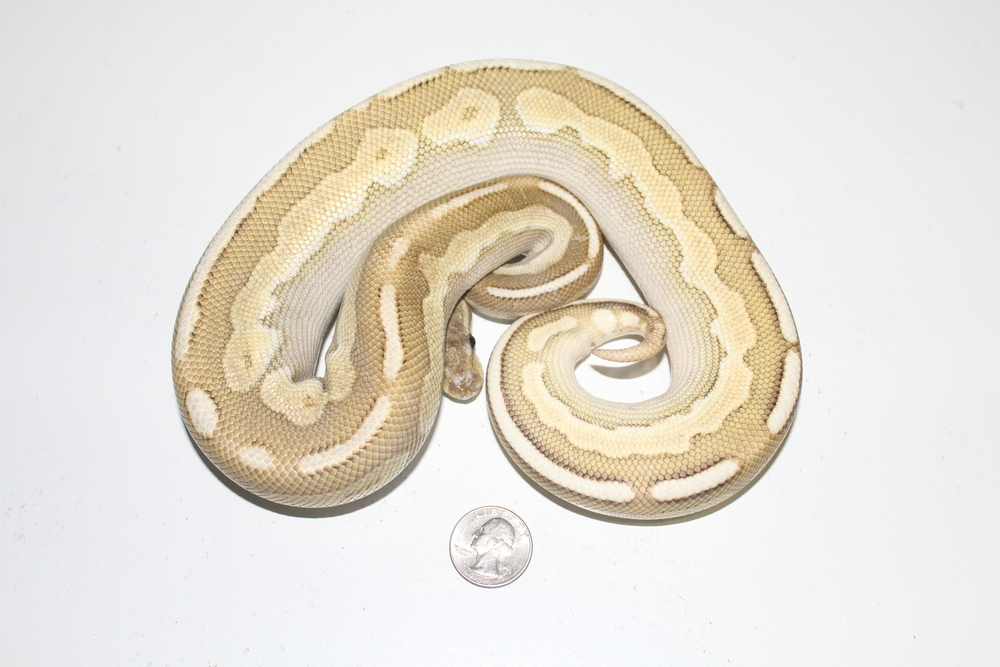 Lithium male at 550 grams