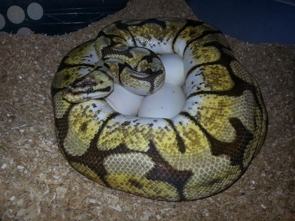 Bumble Bee ball python on her eggs