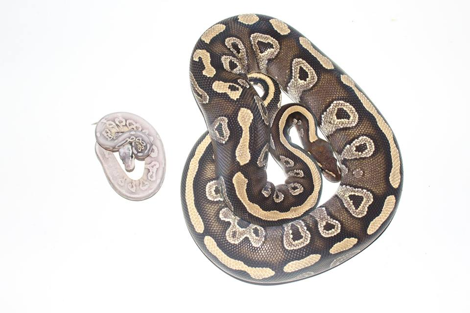 A hatchling ball python next to an adult breeder sized female