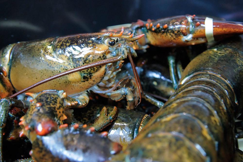 Seafood-Lobster_DSC5352.jpg
