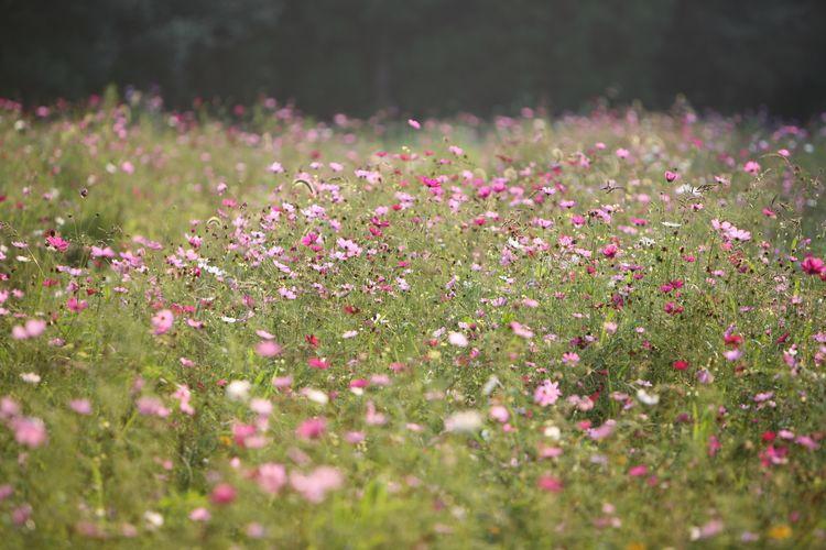 this wild garden features a meadow of cosmos whats not clear from this - Wild Garden