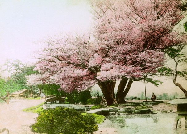 Hand-colored photo of cherry trees in Japan by Eliza Scidmore.  Source: National Geographic, www.agreatblooming.com