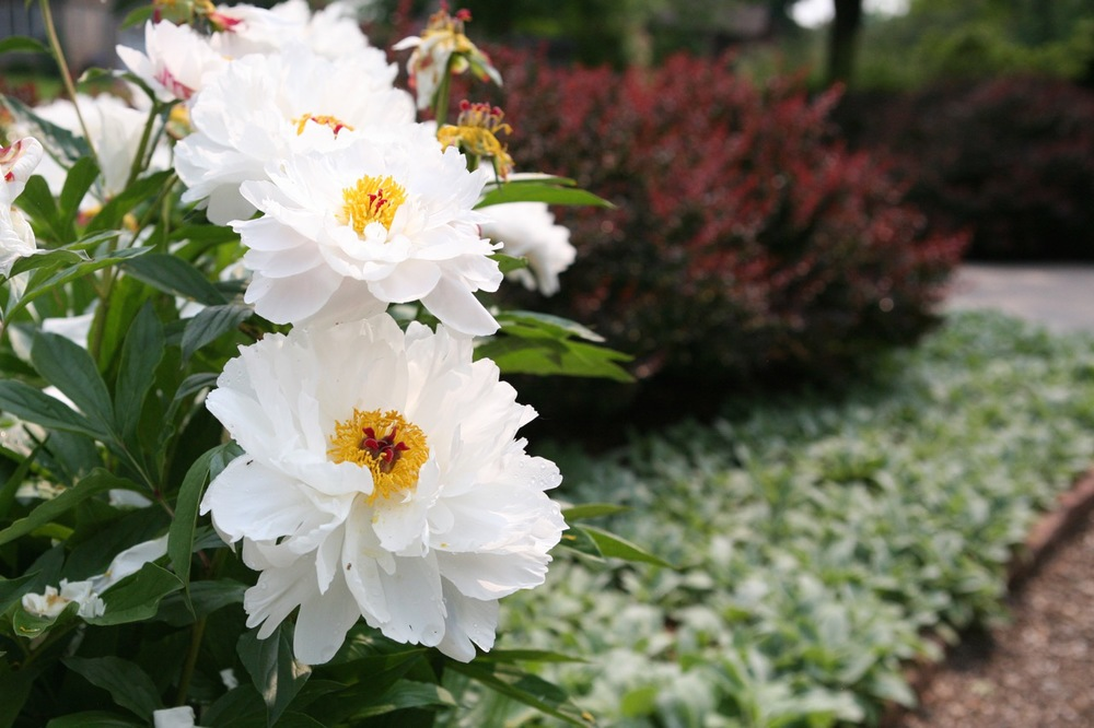 Barberry and lamb's ear provide a clean backdrop for a swath of white peonies.