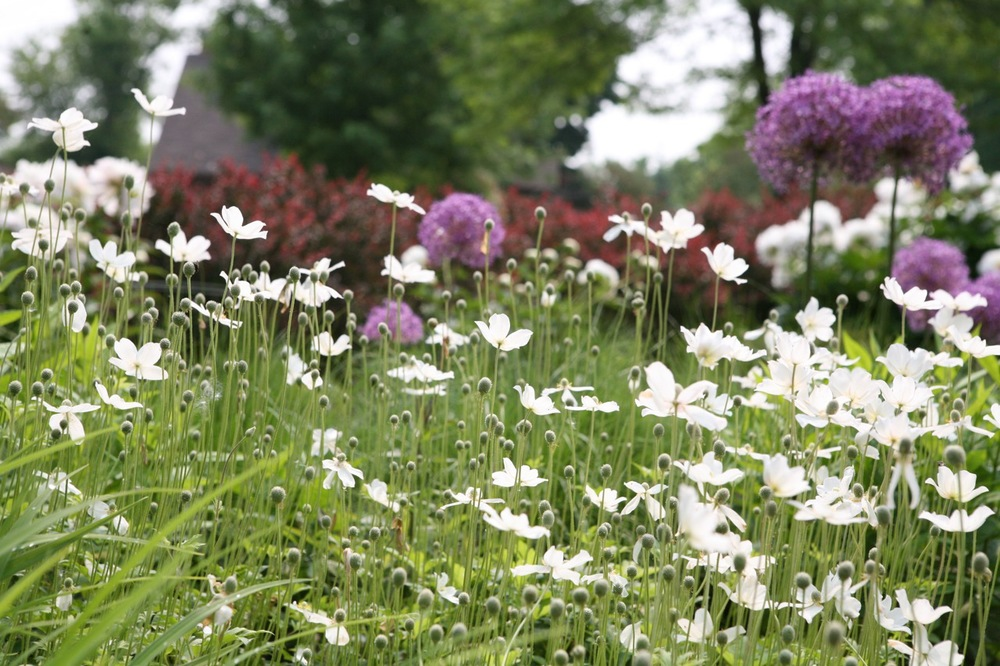 Spring anemone add a light, meadow-like quality to this garden section.