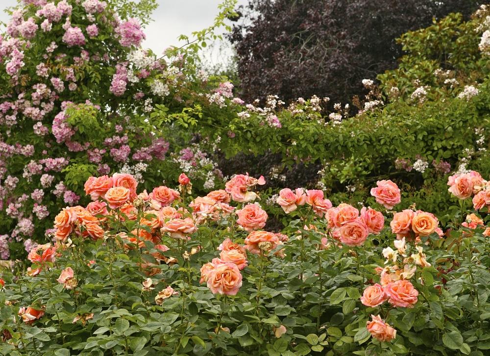 thegoodgarden roses front 1.jpg