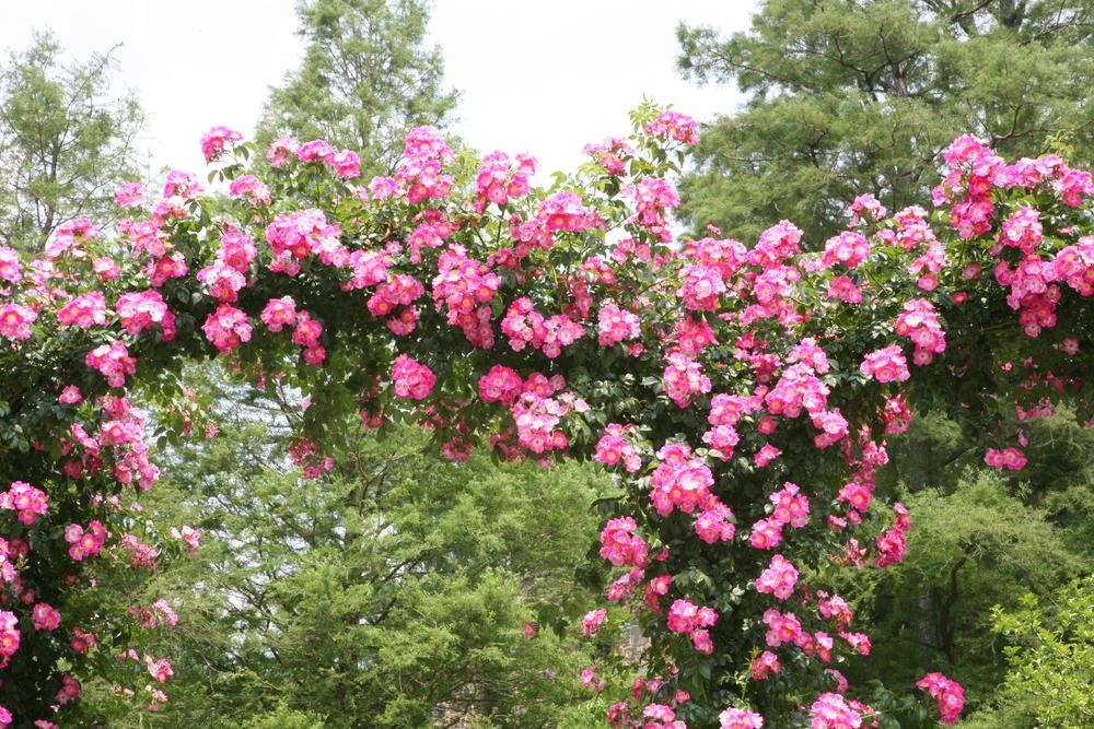 thegoodgarden roses front 3.JPG