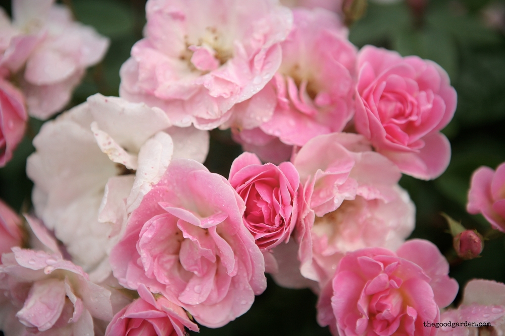 thegoodgarden roses front 2.JPG