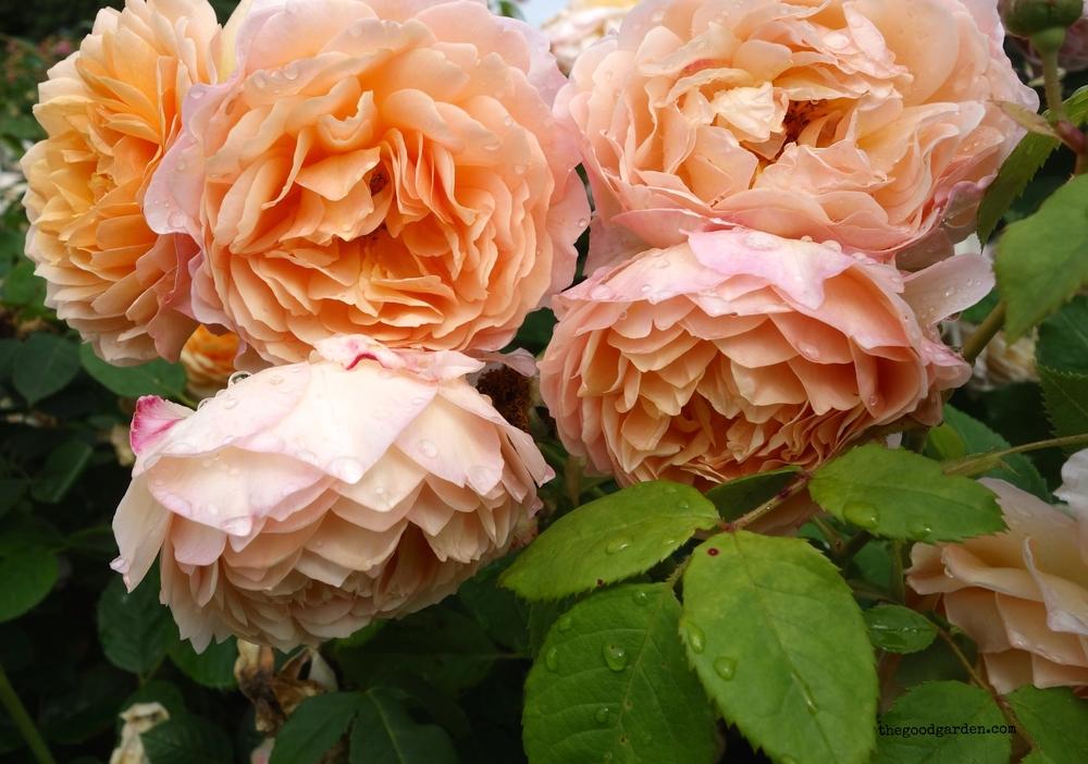 thegoodgarden roses front 4.JPG