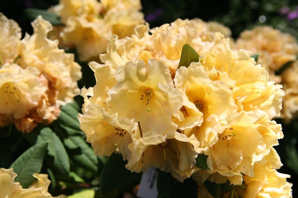 thegoodgarden|davidcalle|usrhododendrongarden_2507.jpg
