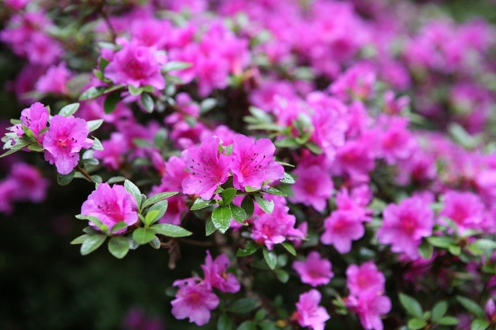 thegoodgarden|davidcalle|usrhododendrongarden_2716.jpg