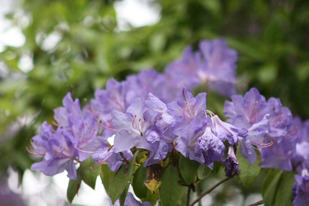thegoodgarden|davidcalle|usrhododendrongarden_2818.jpg