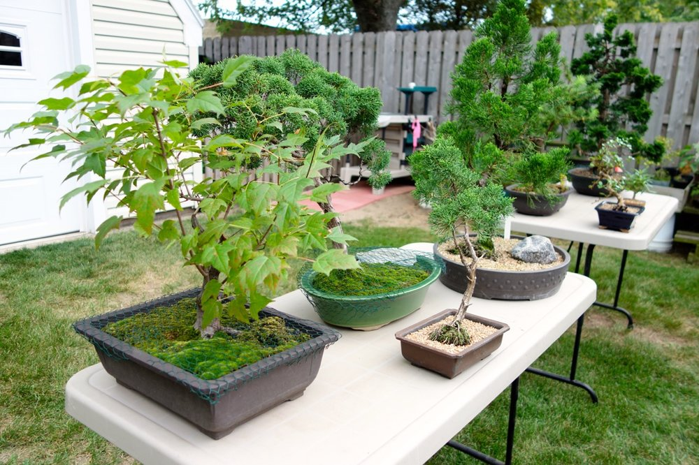 Fox Valley Bonsai Society membersarrange a selection of outdoor bonsai on tables where they can be appreciated from all sides.