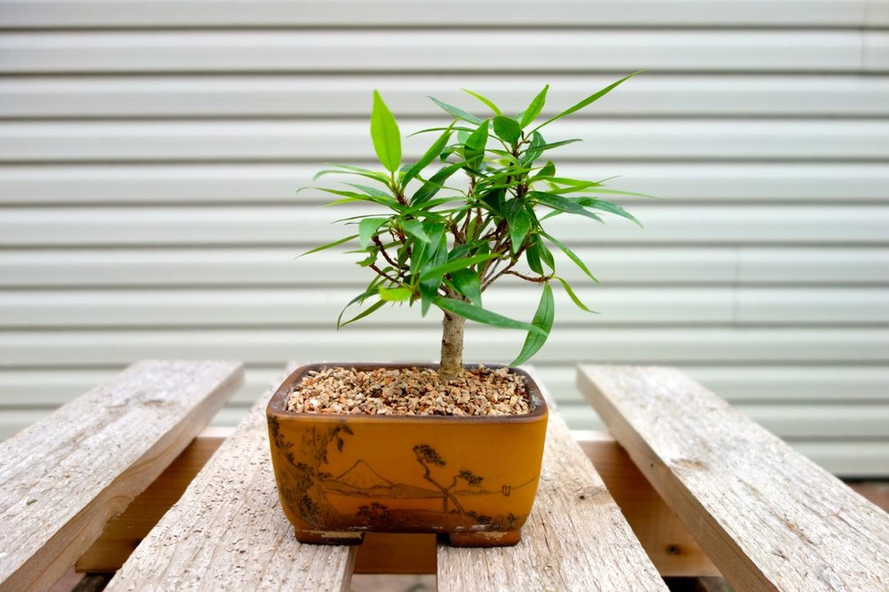 A   7   year old   Ficus     nerifolia  . The miniature landscape painted on the container represents an ideal for the bonsai artist.