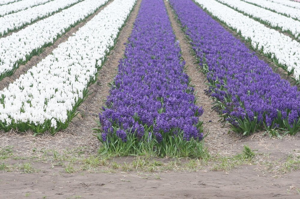 thegoodgarden|tulipfields|netherlands3180.jpg