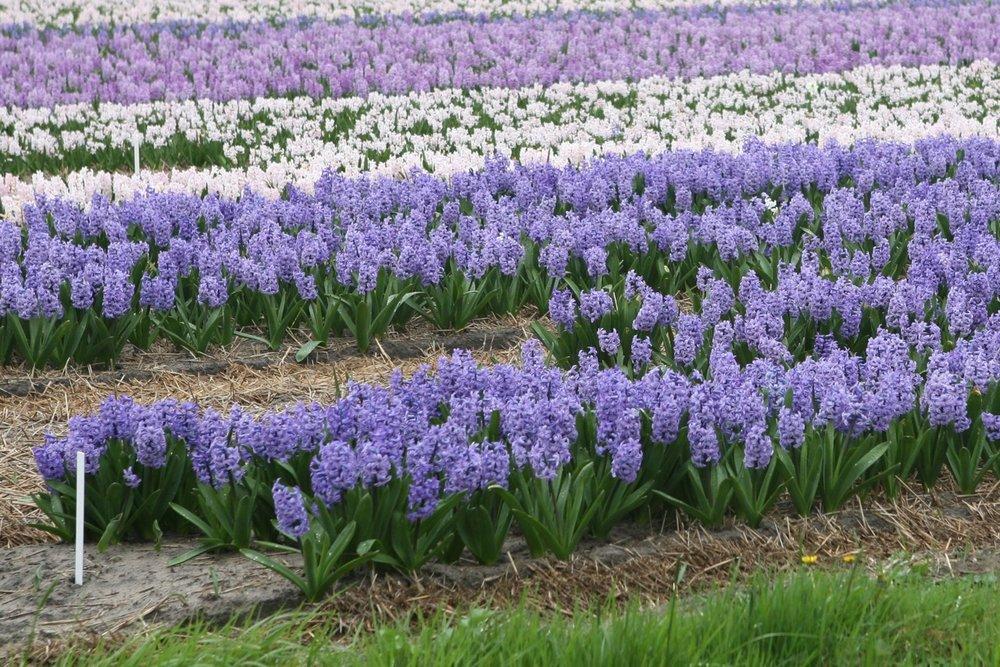 thegoodgarden|tulipfields|netherlands3197.jpg