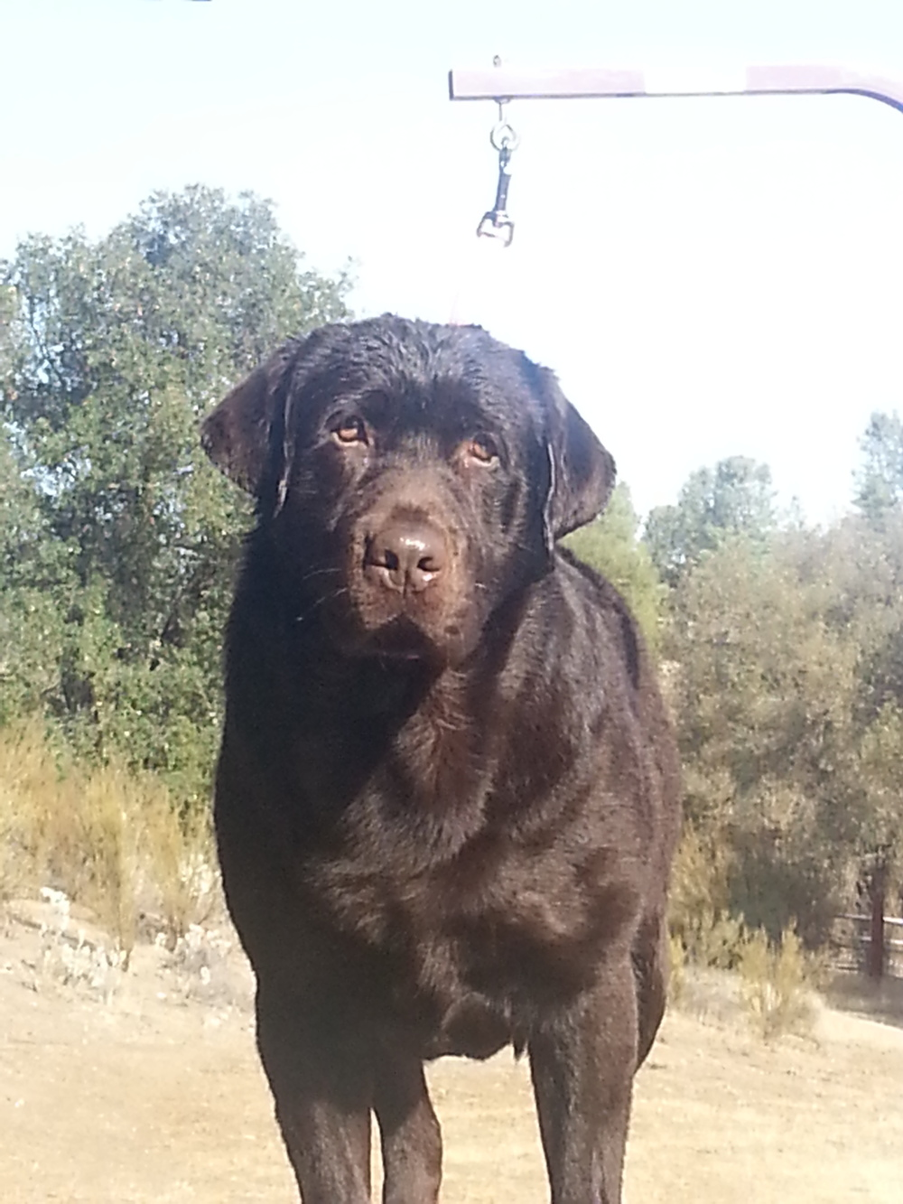 Show Quality Chocolate Male Labrador Retriever