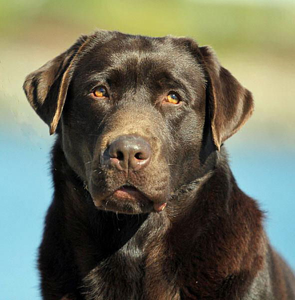 Chocolate Labrador Retriever Stud Dog
