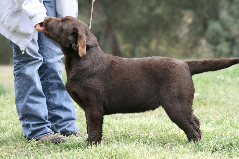 Chocolate Male Labrador Retriever